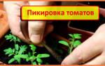 Хитрости уплотнённой пикировки томата — Своими Руками