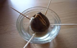 Как вырастить авокадо из косточки — Своими Руками
