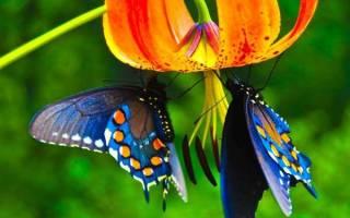 Бабочка Морфо — Своими Руками